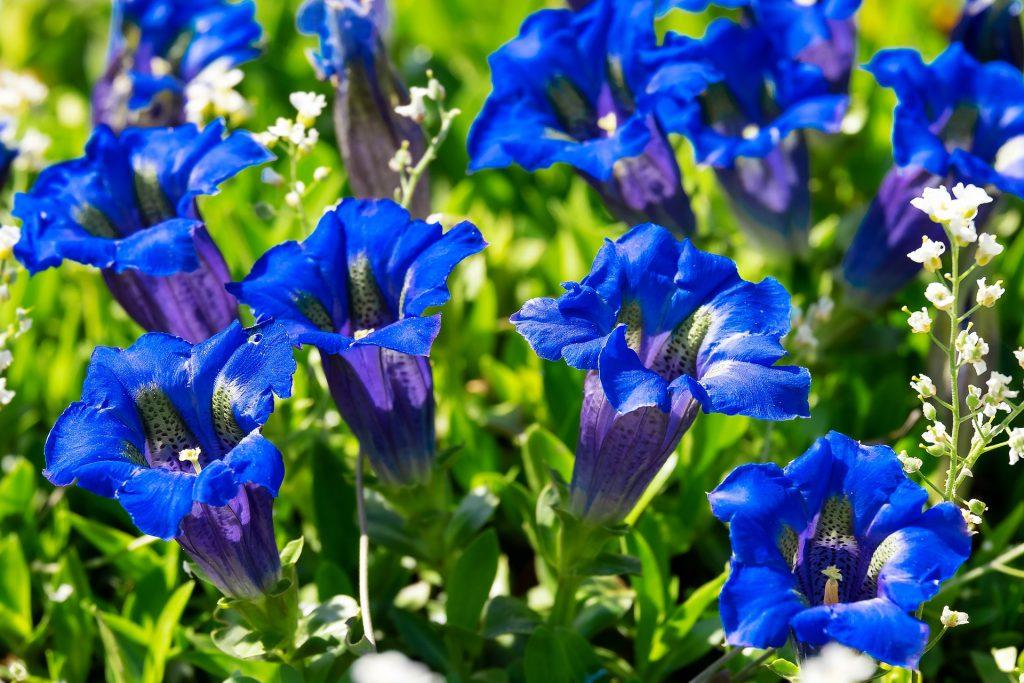 GENTIAN-תמציות פרחי באך