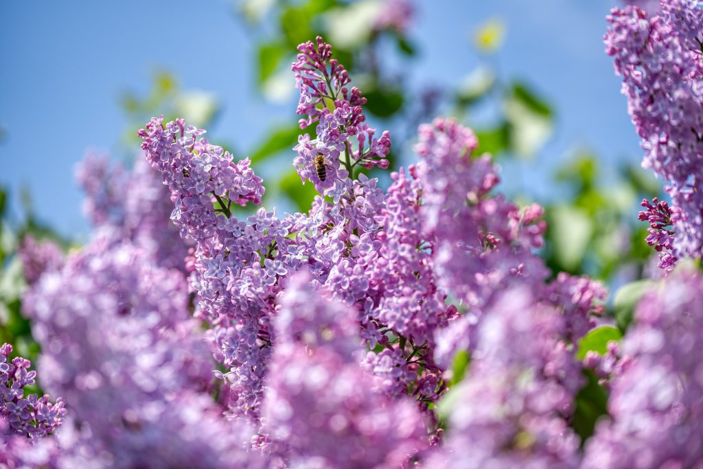 OLIVE-תמציות פרחי באך