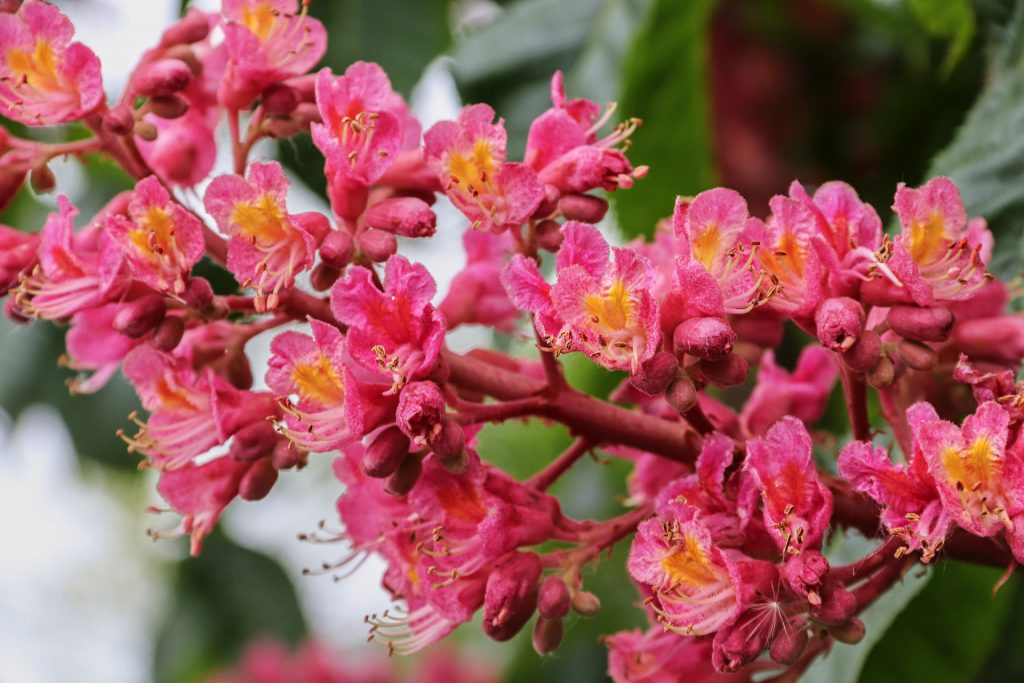 RED CHESTNUT-תמציות פרחי באך