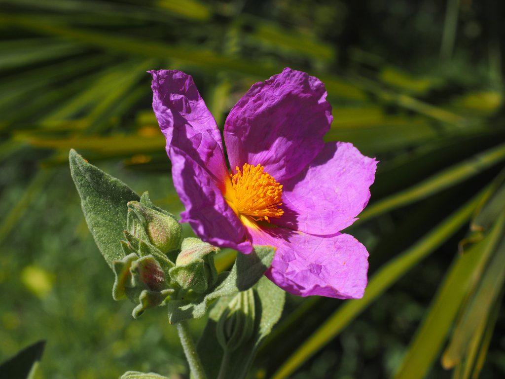 ROCK ROSE-תמציות פרחי באך